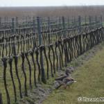 geese and vineyard, a typical image at the lake side / husi a vinohrady - typický obrázok z okolia jazera - Zuzana Moravčíková