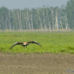 Great Bustard - the heaviest flying bird in the world / drop veľký - najťažší lietajúci vták sveta - Ján Dobšovič