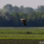 Marsh Harrier (Circus aeruginosus) kaňa močiarna - Ján Dobšovič