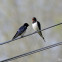 The return of Barn Swallows