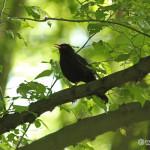 Blackbird (Turdus merula) drozd čierny