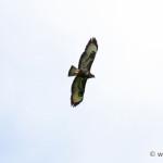 Common Buzzard (Buteo buteo) myšiak hôrny