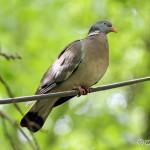 Wood Pigeon (Columba palumbus) holub hrivnák