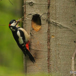 Great Spotted Woodpecker (Dendrocopos major) ďateľ veľký