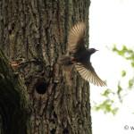 Starling (Sturnus vulgaris) škorec obyčajný