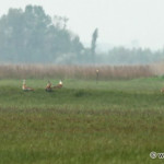 a group of 4 male Great Bustards / skupinka 4 dropov veľkých