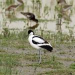 Pied Avocet (Recurvirostra avosetta) šabliarka modronohá