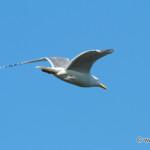 Common Gull (Larus canus) / čajka sivá