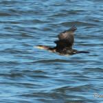 Great Cormorant (Phalacrocorax carbo) / kormorán veľký