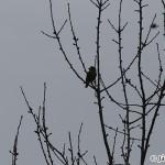 Hawfinch (Coccothraustes coccothraustes) glezg obyčajný