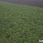 Grey partridge (Perdix perdix) jarabica poľná