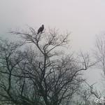 Imperial eagle (Aquila heliaca) orol kráľovský - Ján Dobšovič