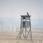 White-tailed eagle (Haliaeetus albicilla) orliak morský - Ján Dobšovič